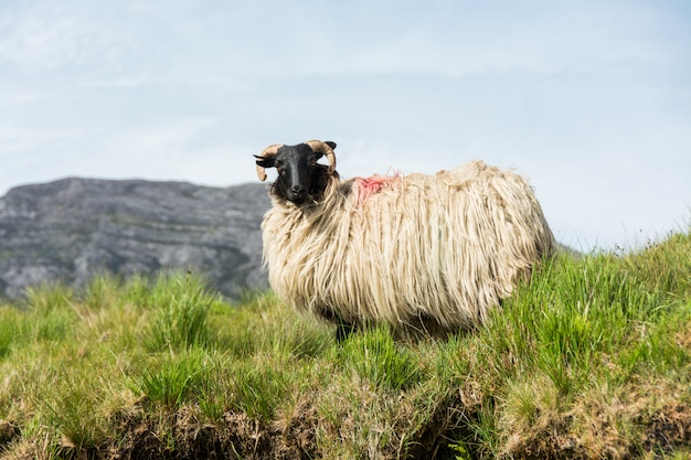 Landascapes of ireland. sheep grazing, connemara in galway county
