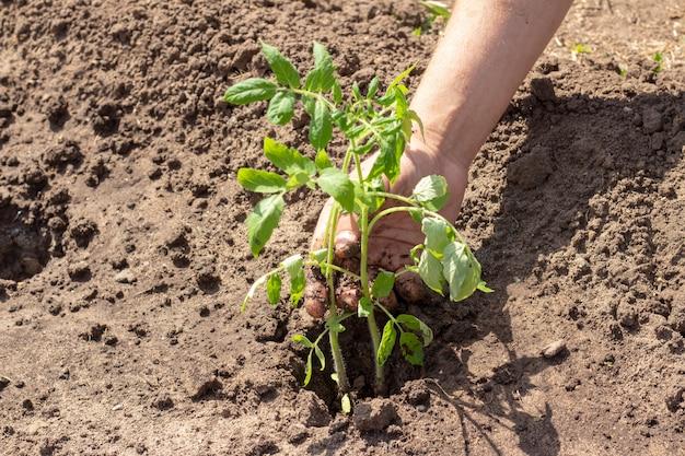 토마토 새싹의 지상 식물에 착륙 봄 여름 화창한 날 모종