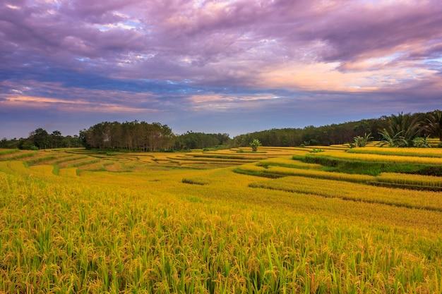 風景インドネシアの美しい赤青の空と朝の黄色い田んぼの広大な広がり