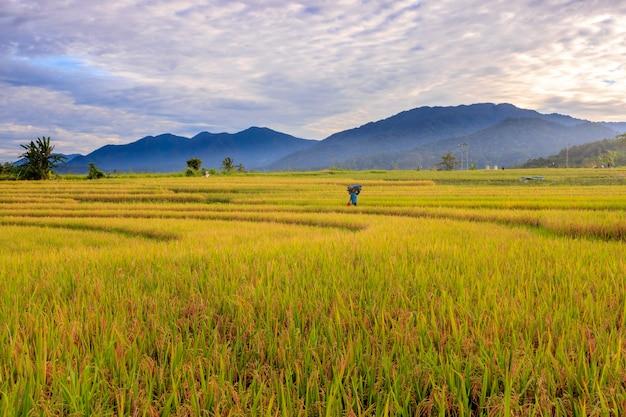 風景インドネシアの美しい山々と朝の黄色い田んぼの広大な広がり