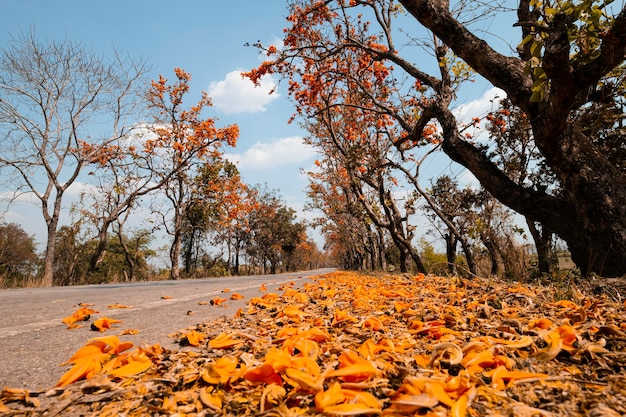 Landscape of the asphalt road and palash tree with full of beautiful orange flower tree