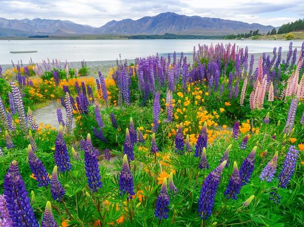 ニュージーランドのテカポ湖ルピナスフィールドの風景