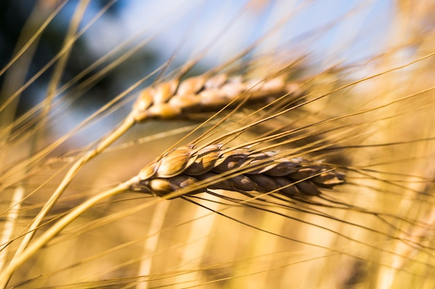 Landscape of a beautiful golden ripe wheat crop