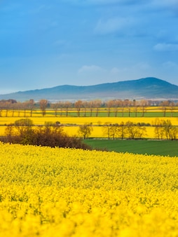 Landscape of blooming rape fields