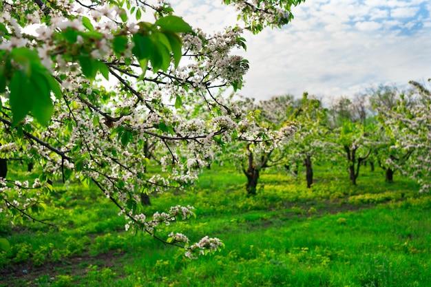 風景。春の桜の果樹園。花の咲く木々の間を歩きます。アロマテラピーと瞑想。自然の美しさ。
