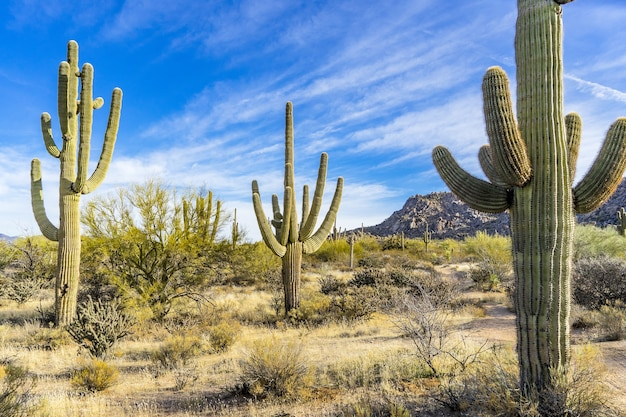 Landscape covered in giants cactuses under the blue cloudy sky