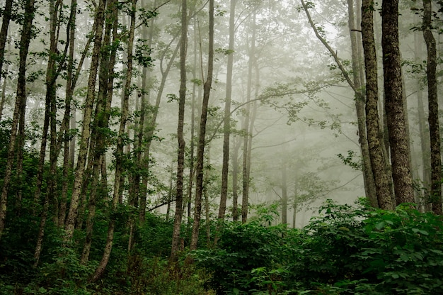 Landscape of the deep forest covered in fog