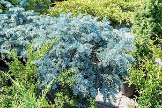 정원 플롯의 조경 디자인 장식 배경으로 푸른 가문비나무와 주니퍼의 가지
