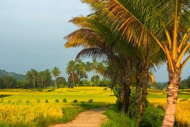 インドネシアの美しいココナッツの木と朝日の出の田んぼの風景の広がり