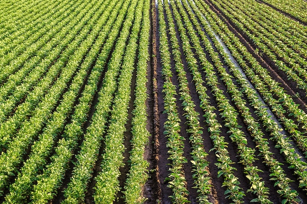 Landscape of a farm field of plantation of potato and eggplant bushes surface heavy irrigation