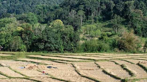 Landscape of field rice , mae hong son, northern thailand