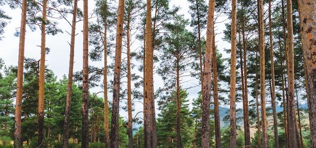 松や他の木々や山々が秋の後ろにある森からの風景