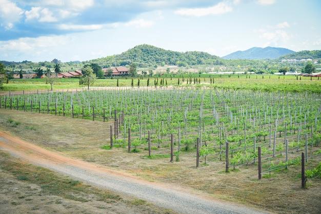 Landscape grape vine growing in the vineyards planting agriculture