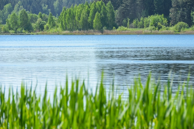 Landscape grass grows against the background of the water of the lake and the forest in summer