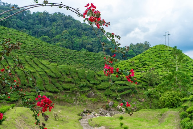 Landscape of green hills with tea fields.