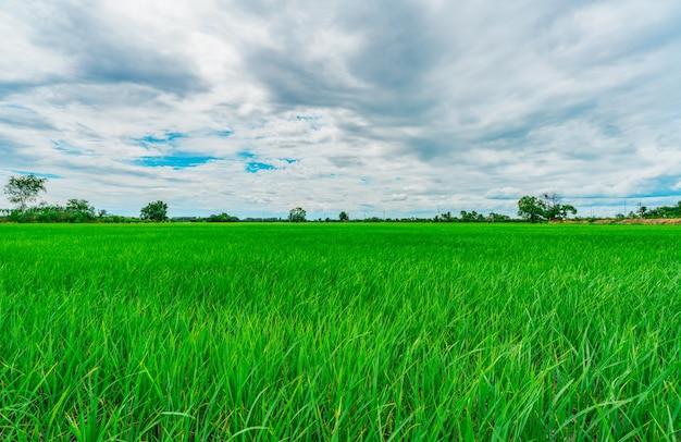 アジアの田舎の緑の水田の有機稲作農場の風景緑の田んぼ稲作農場