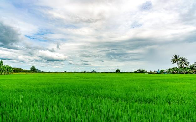 풍경 녹색 쌀 필드입니다. 농촌에서 배경으로 산 쌀 농장. 녹색 논입니다. 아시아의 유기농 쌀 농장. 논. 열 대 풍경과 흰 구름 하늘입니다. 농업 농장입니다.