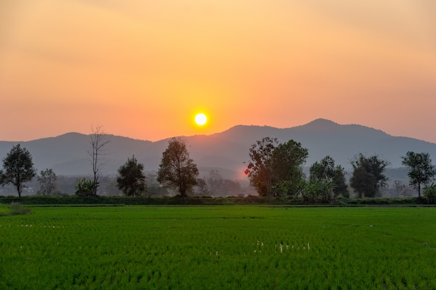 Landscape of green rice field  with mountain on background in sunset