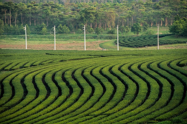 Landscape, green tea garden