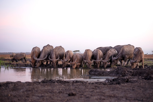 Landscape of a group of bulls drinking water