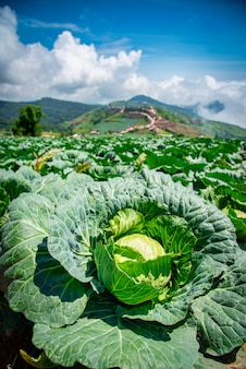 Landscape image of a freshly growing cabbage in the garden at daytime.