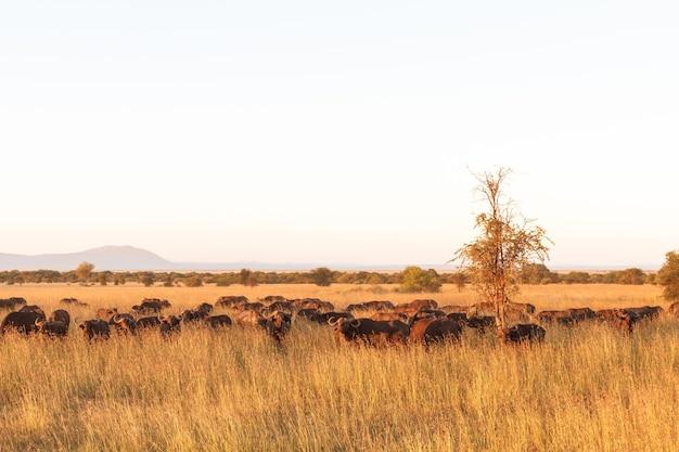 Пейзаж в саванне. большое стадо африканских буйволов в серенгети. танзания