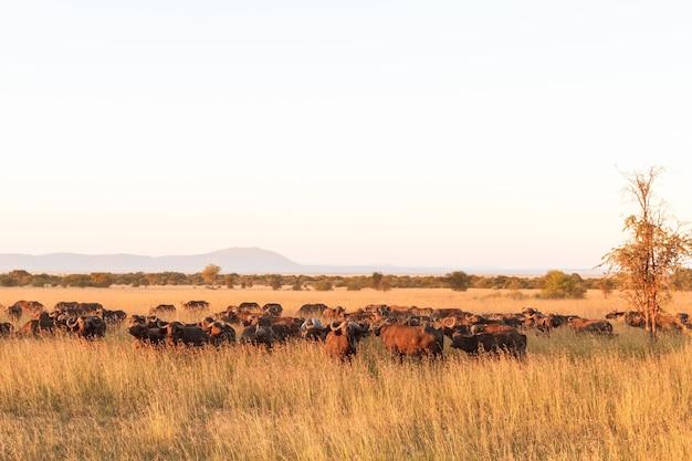 Пейзаж в саванне. большое стадо буйволов. серенгети. танзания