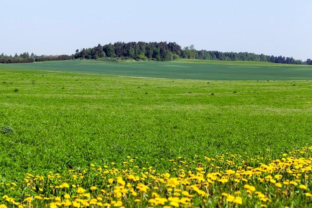 緑の植生と青い空のある夏の風景、畑の端に黄色いタンポポが育ちます