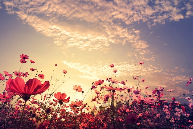 Landscape nature background of beautiful pink and red cosmos flower field with sunshine. vintage color tone