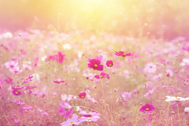 Landscape of nature and beautiful pink and red cosmos flower field