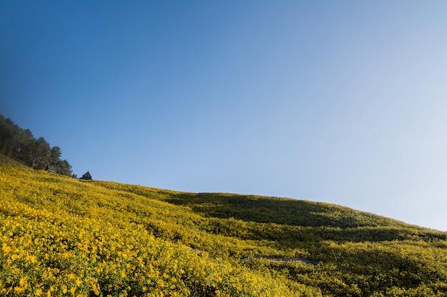 Landscape nature flower tung bua tong mexican sunflower field, mae hong son, thailand