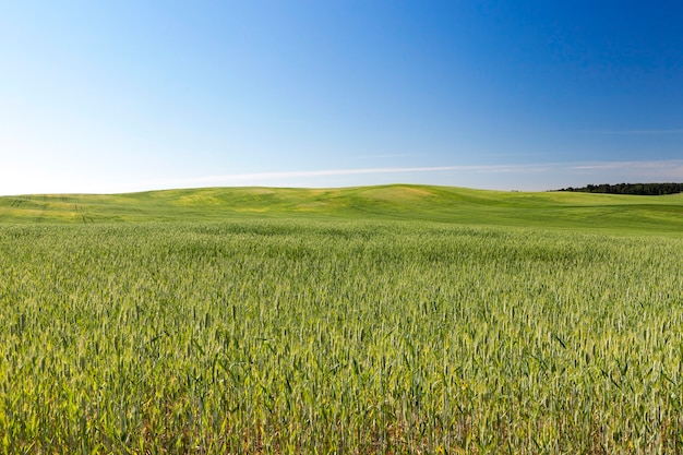 Пейзаж сельскохозяйственных полей, на которых растет зеленая незрелая рожь. на заднем плане голубое небо и деревья