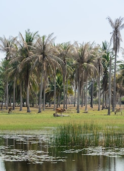 코코넛 야자 나무 농장의 아시아 시골 풍경