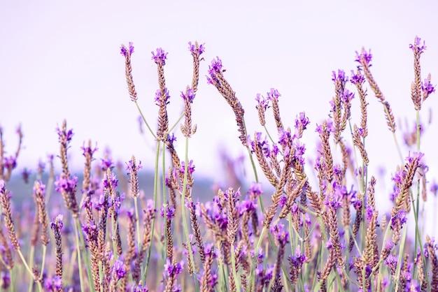 필드에 아름 다운 보라색 라벤더 또는 스페인어 눈 라벤더의 풍경.