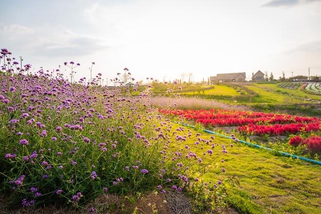 夏の夕日の赤い色の下の山の上の美しい家で咲くラベンダーとピンクの赤い花畑の風景。
