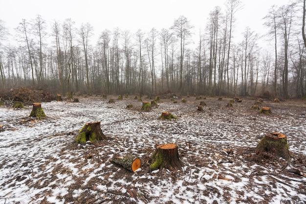 大きな切り株が多い森林地帯の伐採地の景観