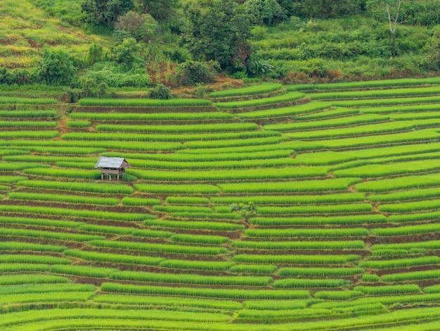 장마철인 9월, 태국 치앙마이의 파봉피앙(pa bongpiang) 마을 산비탈에 있는 신선한 녹색 라이스 테라스의 풍경