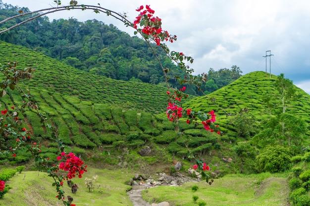 茶畑のある緑の丘の風景。