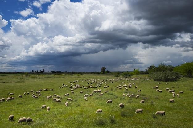 우울한 하늘 아래 목초지에 방목하는 양 무리와 함께 녹색 식물의 풍경
