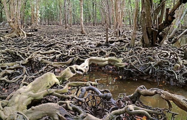 信じられないほどのマングローブの木の根が森タイ全体に広がるランタブーンの風景