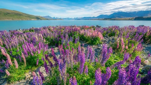 Пейзаж поля люпина у воды
