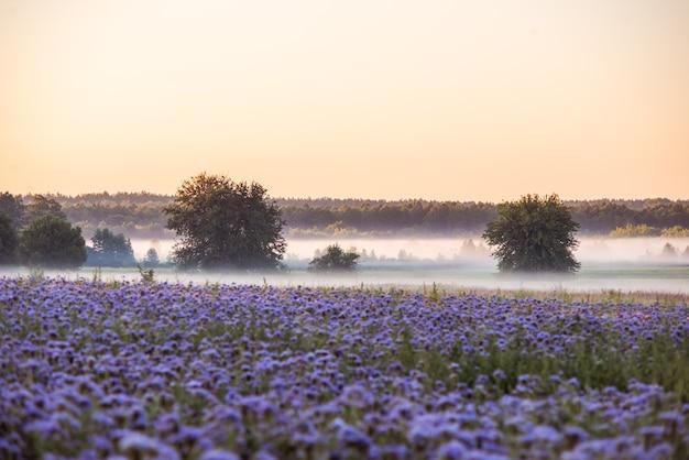 ハゼリソウの花畑の近くの谷の朝の霧の風景 Premium写真