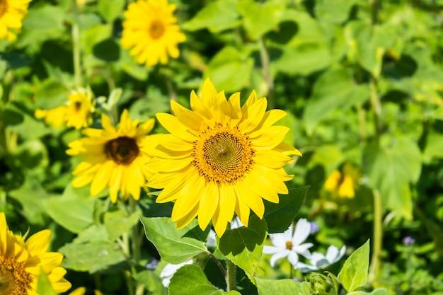 昼間は黄色い花が咲くひまわり畑の風景