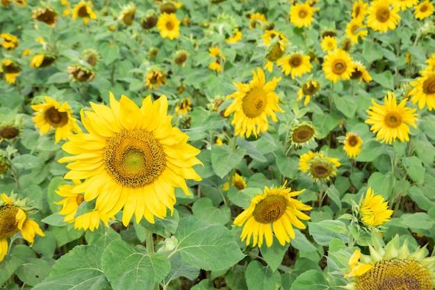Пейзаж фермы подсолнухов с желтыми цветами в дневное время