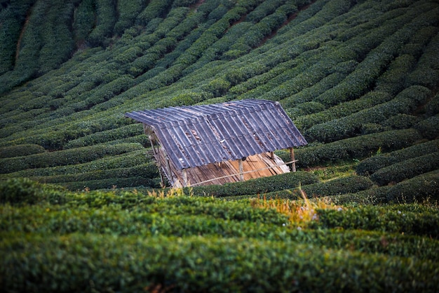 Пейзаж поля чайной плантации на горе