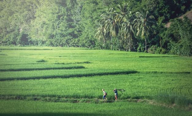 Пейзаж зеленых рисовых полей