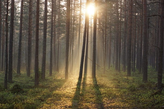 木々の間を通り抜ける日光を浴びた朝の森の風景。