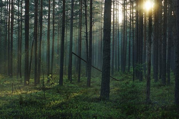 背の高い松を通り抜ける明るい日差しのある朝の森の風景。