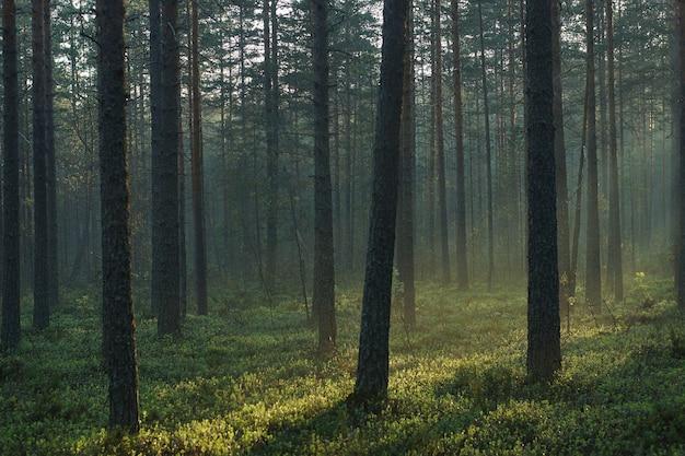 背の高い木々を通り抜ける明るい日差しのある松林の朝の風景。