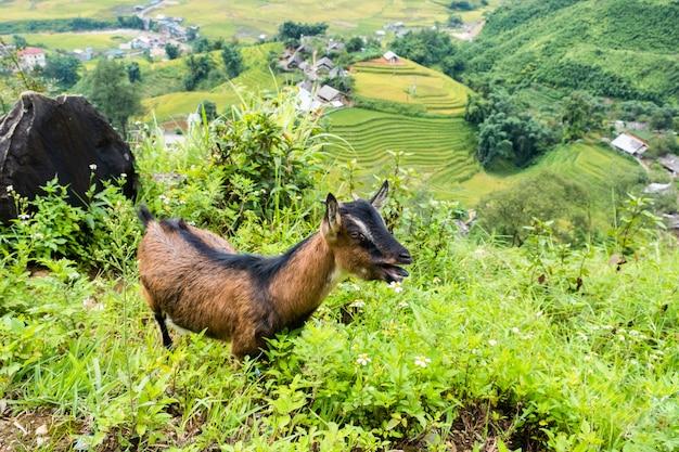 サパでヤギと谷の村の風景
